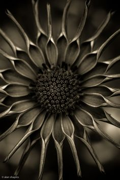 African Daisy in monochrome    ©2012 Alan Shapiro