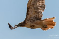 A Red-tailed Hawk perform a very close flyby. (© Tony's Takes)