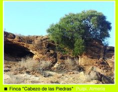 Finca cabeza de las piedras. www.oleoalmanzora.com Aove  Aceite de Oliva Virgen Extra Arbequina. Oleoalmanzora.