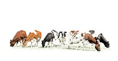 Cows, beautifully stylized editing of a group of Dutch cows on white background. Stylish and minimalist photo art.