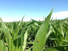 Ésto es un maíz sano. Mariquita incluida.