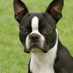 Click to learn about the Boston Terrier.  #bostonterrier