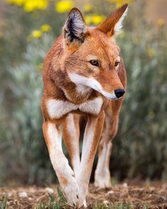 "beautiful-wildlife: ""Ethiopian Wolf by Will Burrard-Lucas """