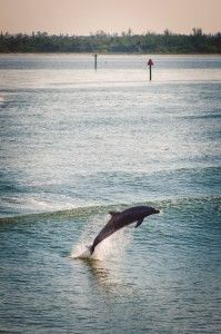 The Dolphin Explorer tour Marco Island, Florida. http://www.mustdo.com/articles/get-out-on-the-water-with-the-dolphin-explorer/