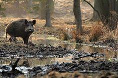 Détendu #hunt #hunting #chasse #instachasse #wildboar #wildboarhunting #instahunt #jagd #caza #wildschwein #huntinglife #vildsvin #jakt #jeger #boar #huntingday #caccia #jagt #boar #cinghiale #jabali #jabalí #härkila #hoghunting #sanglier #sako #pighunting #schwarzwild by instachasse
