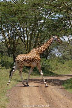 Giraffe: Photographed At Lake Nakuru National Park.
