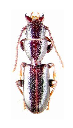 Cymbionotum semelederi (Chaudoir, 1861) F Carabidae