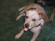 Name:    	Moon Junior  Breed: 	Pit Heeler  Gender:	Male  Born:  	2/15/2010  From:  	El Reno, OK (US)  Posted:	6/20/2010  Rating:	--