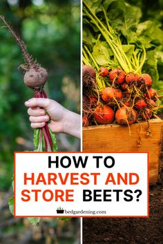 HOW TO HARVEST And STORE BEETS? Beats can be harvested for two purposes, leaves or roots. You can twist off the young leaves anytime you need them. You can use them in your salad or sandwiches. Vegetable Garden Planning, Vegetable Garden For Beginners, Gardening For Beginners, Vegetable Gardening, Gardening Tips, Cedar Raised Garden Beds, Raised Beds, Bountiful Harvest, Homestead Living