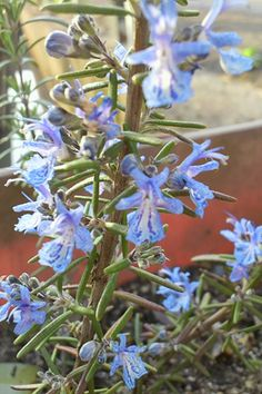 Rosemary 'Corsican' (Rosmarinus prostratus)  Trailing Rosemary. Bushy, semi-trailing plants with deep blue flowers and very pungent, needlelike green foliage that's excellent for cooking. Grows 24-30″ tall. Needs full sun, good drainage. Grow near south facing wall for best chance of overwintering. Tender perennial.