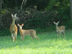 Deer, doe and her two fawns. Photograph taken Cape Cod, MA