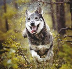 jämthund. . .also called Swedish Elkhound