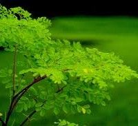 Do You Know About Moringa Oleifera?