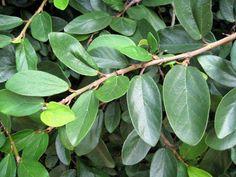 Ficus pumila 薜荔 Ficus Pumila, Climbing, Vines, Plant Leaves, Plants, Home, Gardens, Mountaineering, Plant