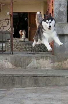 Wonderful All About The Siberian Husky Ideas. Prodigious All About The Siberian Husky Ideas. Malamute Husky, Puppy Husky, Siberian Husky Dog, I Love Dogs, Cute Dogs, Fun Dog, Funny Animals, Cute Animals, Wolf Husky