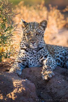 °Mashatu Leopard