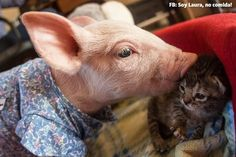 Orphaned kitten Marina and rescue piglet Laura found each other at an animal sanctuary and now are growing up together! They are adorably inseparable! Animals And Pets, Baby Animals, Funny Animals, Cute Animals, Teacup Animals, Funny Pigs, Cute Pigs, Kittens Cutest, Cats And Kittens