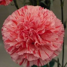carnations | Perpetual Carnations from Cuttings | Gardeners Tips