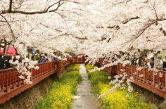 진해 벚꽃축제 by @brightworld3773