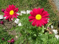 Growing painted daisies in the garden adds spring and summer color. Painted daisy perennials are the perfect height for those hard to fill spots in the garden. Painted daisy care is simple too. Click here for more.