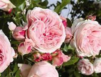 Jasmina  JasKlatrerose, stærk, velduftende, svag sødlig duft (4:5), meget fyldige blomster ca. 6-7 cm, ofte i klynger af 10-15 blomster, højde indtil 2,5 meter ved den ideelle placering, bredde indtil 100 cm, så plant den enkeltvis med 80-100 cm afstand. Denne klatrerose er tildelt guld- og sølvmedalje ved internationale konkurrencer blandt andet for store klynger af blomster og sin intense duft. Forstørrelse - klik på billedet.mina®