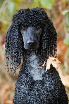 wet poodle. looks just like our old poodle Max