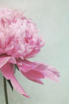 peony  pale pink Art Print