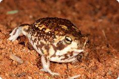 Bushveld Rain Frog (Breviceps adspertus) Werner Conradie, Port Elizabeth, South Africa Amphibians, Reptiles, Port Elizabeth South Africa, Cruise Port, World Traveler, Choir, Frogs, Dawn, Southern