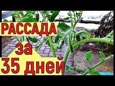 Выращивание рассады помидоров до ЦВЕТОЧНОЙ КИСТИ за 35 дней - YouTube