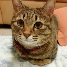 「今日もお疲れ様でした~  How was ur day today?? #cat #catstagram #neko #tabby #ネコ #ねこ #猫 #猫写真 #キジネコ #キジトラ」