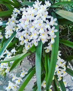 Do meu jardim, minha mini orquídea branca.