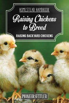 How To Show Chickens | Raising Backyard Chickens, Backyard Chickens And  Homesteads