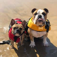 """5236cc84e0a6a8 EzyDog USA on Instagram  """"Taco and Gucci have one word for you    friyay  And don t forget we ve got a sweet promotion going on right now."""
