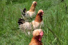 Leben mit den Hühnern
