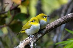 The Oriental white-eye (Zosterops palpebrosus) is a small passerine bird in the white-eye family. Photo by Saminathan Babu.