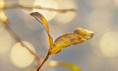 Backlit and waning Willow ...