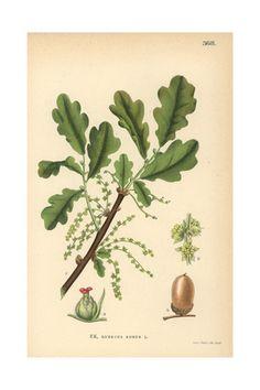 Botanical Illustration Photos at AllPosters.com