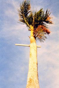 A piece of lumber is stuck in the trunk of a palm tree. Winds near the eye of the strongest storms, like Hurricane Andrew in 1992, can make debris lethal projectiles.