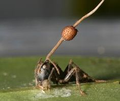 "Ant parasitised by fungus ""Zombie Ants""  Really... try Googling it."