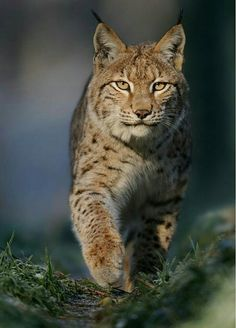 Eurasian Lynx The Effective Pictures We Offer You About Mammals kindergarten A quality picture can tell you many things. Big Cats, Cats And Kittens, Cute Cats, Nature Animals, Animals And Pets, Wild Animals, Beautiful Cats, Animals Beautiful, Beautiful Pictures
