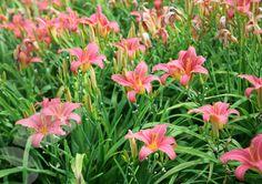 Hemerocallis 'Pink Damask' Damas Rose, Patio Bed, Pink Damask, Herbaceous Perennials, Plants, Beautiful, Number 9, Google Search, Cottage