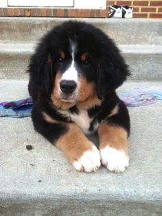 Bernese Mountain Dog puppy! Tug Boat !