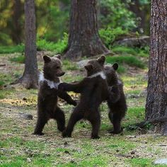 Adorable moment baby bear cubs grasp paws and dance joyfully in a circle * At just a few months old, two young males and one female gathered in circle * The bears were spotted in eastern Finland near Suomussalmi Baby Bear Cub, Bear Cubs, Grizzly Bears, Tiger Cubs, Tiger Tiger, Baby Bears, Cute Baby Animals, Animals And Pets, Funny Animals