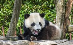 Download wallpapers panda, cute bear, forest, wildlife, trees