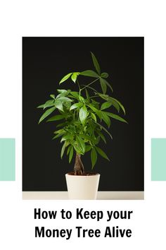 Do you have a Money Tree? Learn how to keep it happy so that it thrives! Here are the three things that would make this plant love you! Money Tree Plant Care, All About Plants, Money Trees, Bedroom Plants, Indoor Plants, House Plants, Planter Pots, Happy, Plants In Bedroom