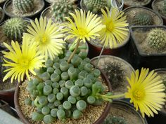 How to Grow and Care for Fenestraria - See more at: http://worldofsucculents.com/how-to-grow-and-care-for-fenestraria