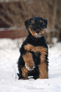 Airedale Terrier puppy - null