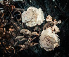 Rose vk.com/konstantinchernov
