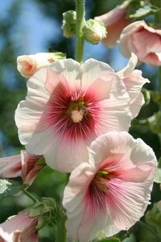 25 Rare White Pink Hollyhock Seeds Perennial Giant Flower Garden Plant Spring Summer Fall Holly Hock Blooms Yard Bright Blooms Tall by ToadstoolSeeds on Etsy