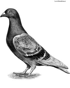 Pigeon research